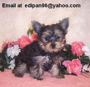 Cuttest Female Yorkie Puppy For Adoption.