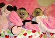 My babies capunchin monkeys(kiki and Mark)